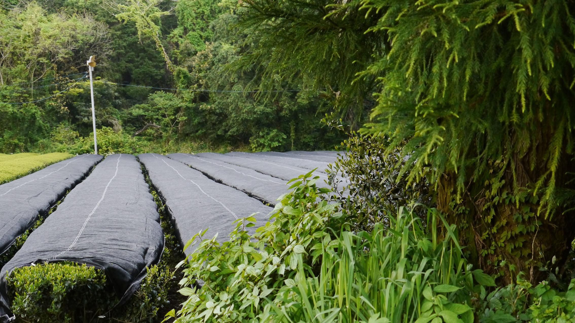 Mishou tea garden, already shaded for Kirishima Aracha Shincha