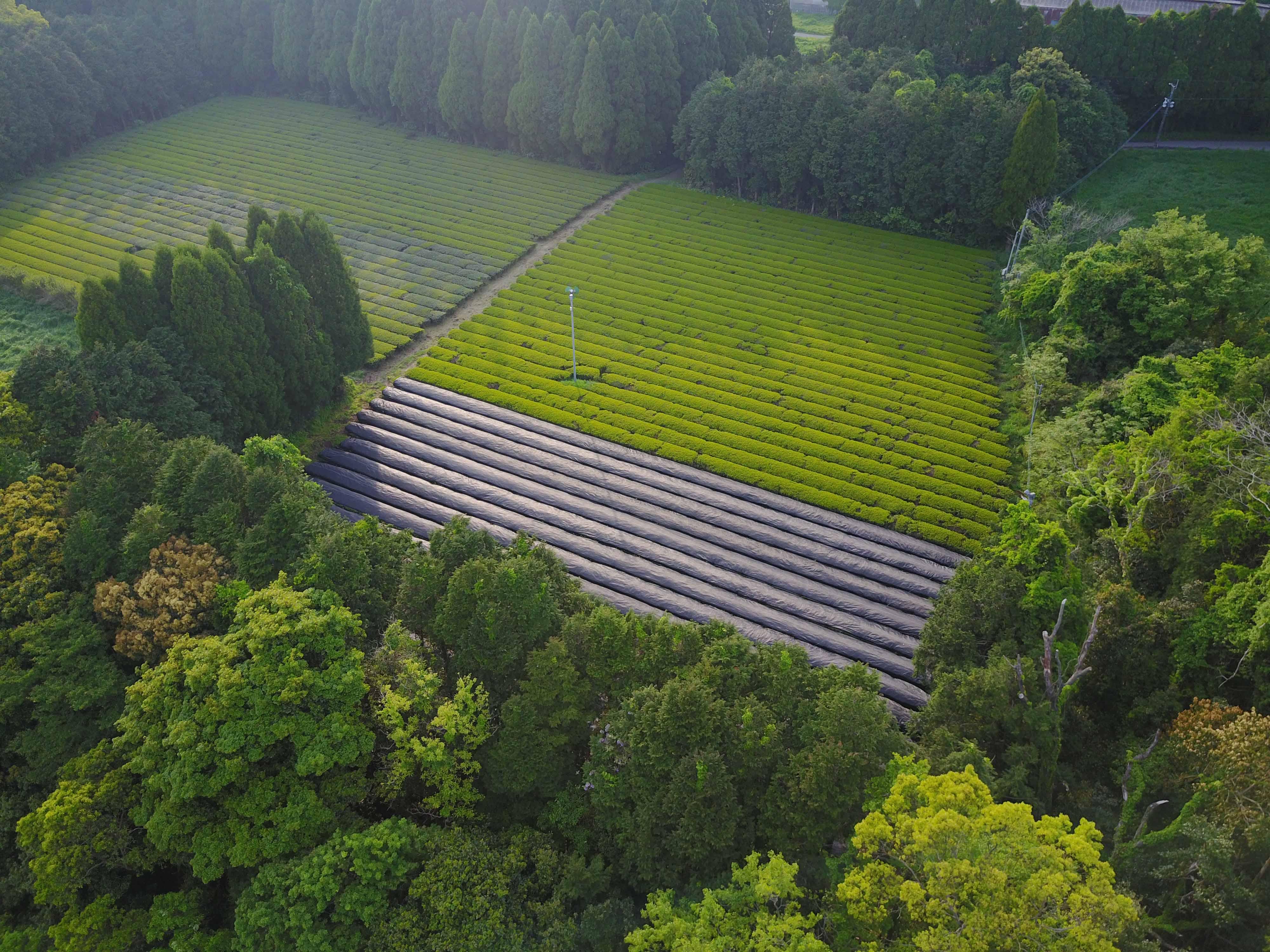 Marimo Tea - Kirishima Tea Garden
