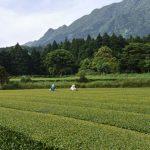 Blick über den Teegarten von Watanabe auf Yakushima