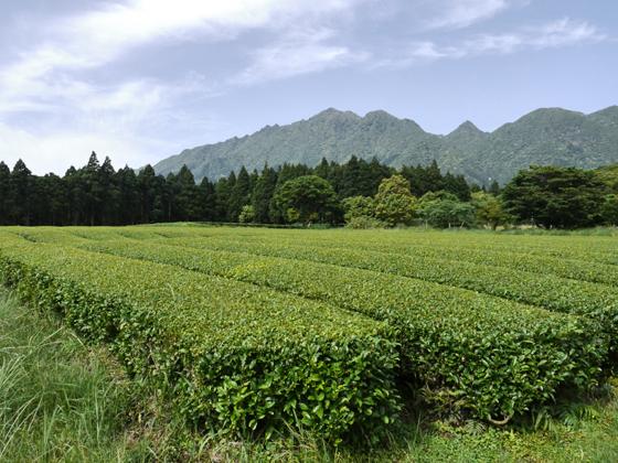 Neuer Teegarten von Watanabe auf Yakushima