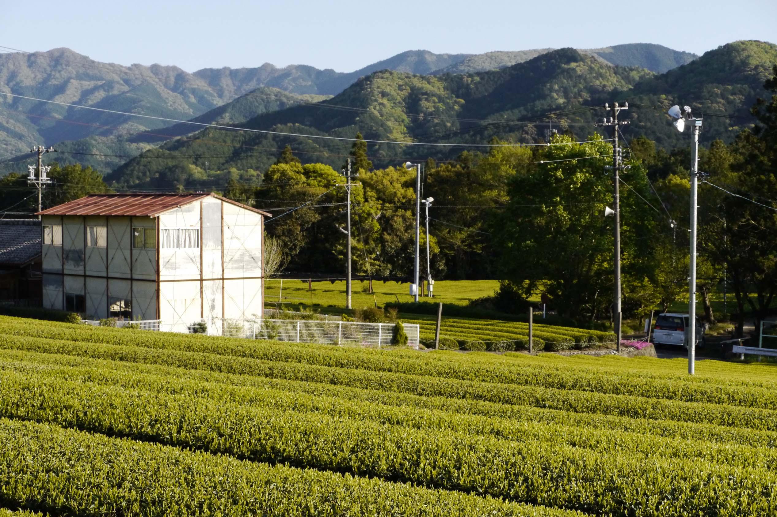 Jardin de thé de Kimihiko et Iwao Hayashi