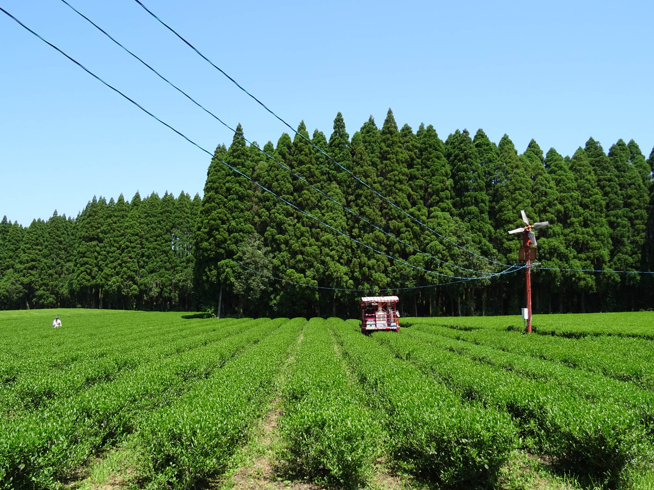 Young Asanoka tea bushes at Shutaro's Kirishima tea garden