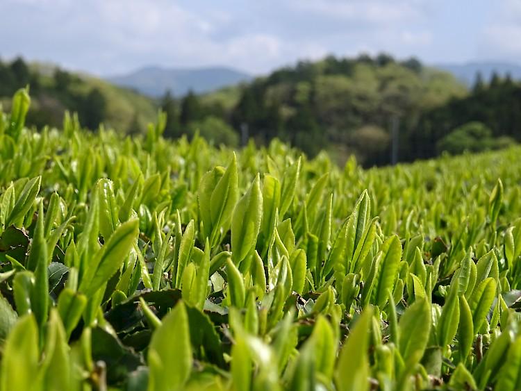 Photo: Yabukita tea bushes in the organic tea garden of Iwao Hayashi in Mie Prefectre Photo: Yabukita tea bushes in the organic tea garden of Iwao Hayashi in Mie Prefectre