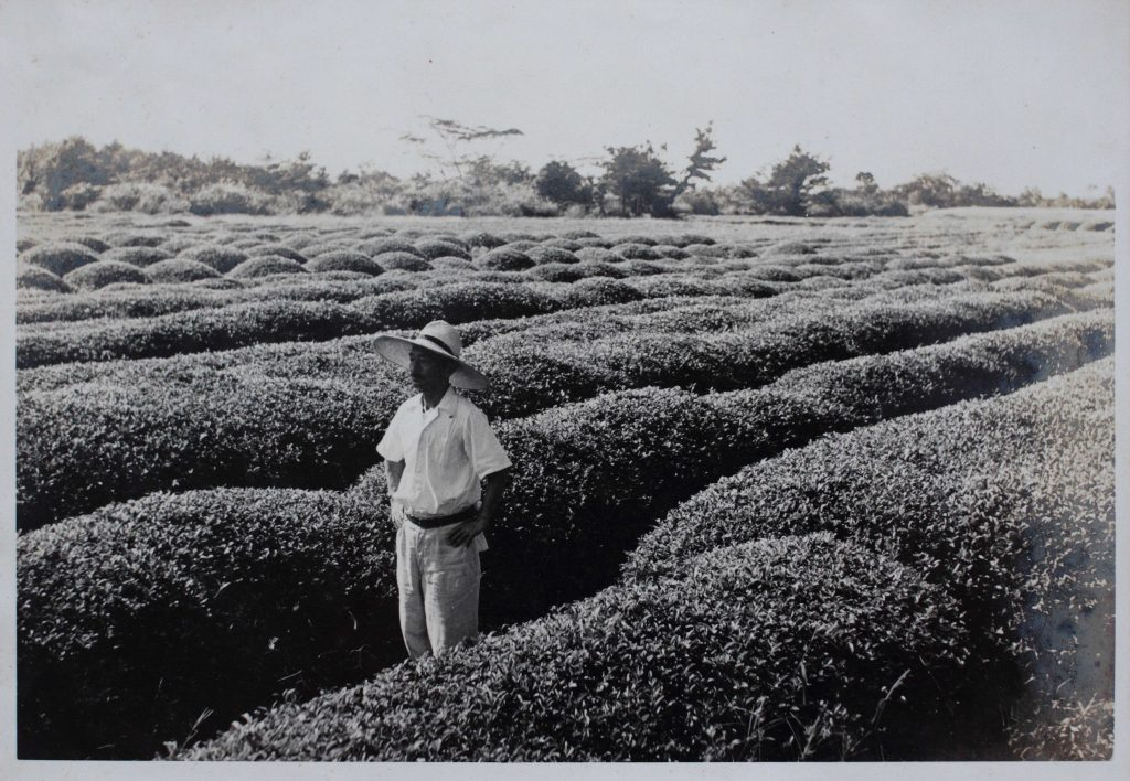 A historical view – zairai tea bushes in the Hayashi family's Kirishima tea garden