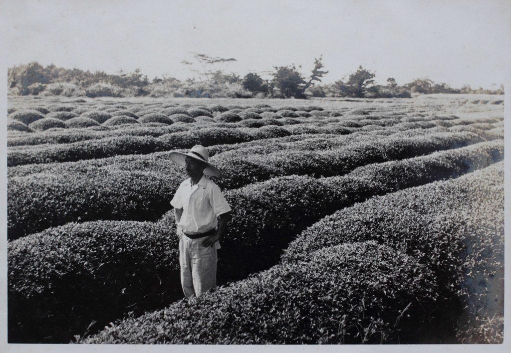 Une vue historique – arbustes zairai du jardin de thé de la famille Hayashi à Kirishima