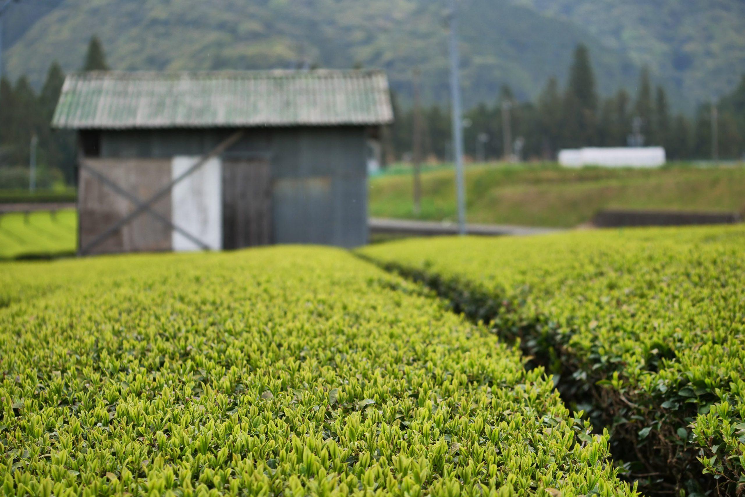 Asatsuyu Cultivar tea garden parcel in the garden of Hayashi family in Mie